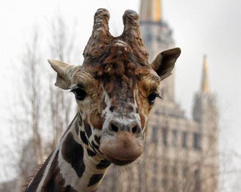Иностранные консультанты правительства Москвы предлагают убрать зоопарк из центра города