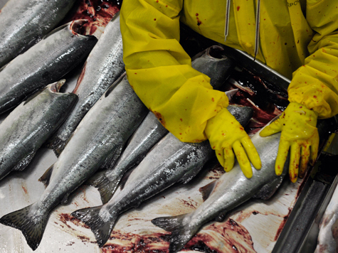 Чиновники вылезли вон из кожи лосося