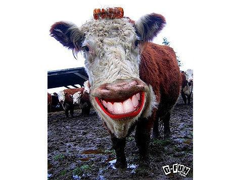 Лучше проводить селекционную работу с крупным рогатым скотом помогут отпечатки носов, взятые у буренок