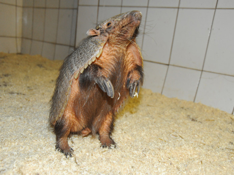 Броненосец из зоопарка  решил соблазнить соседку