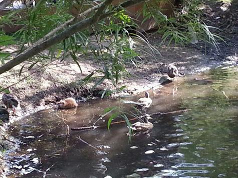 В Серебряном бору обнаружили ондатр