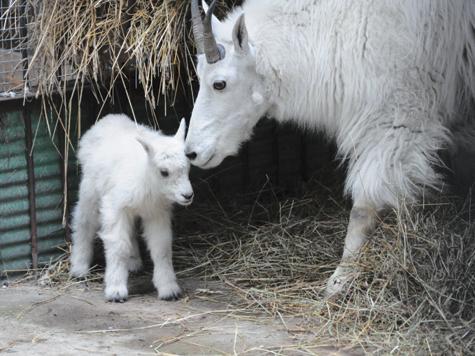 Крошечный снежный козленок появился на свет в Московском зоопарке