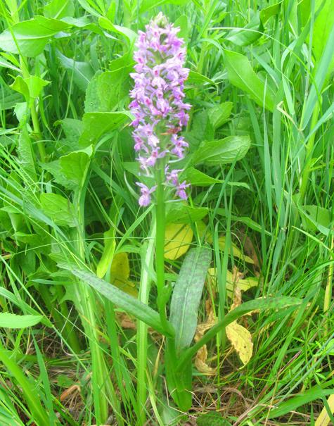 """Редчайший вид орхидеи расцвел на днях в природном парке """"Долина реки Сходни в Куркине"""" на северо-западе Москвы"""