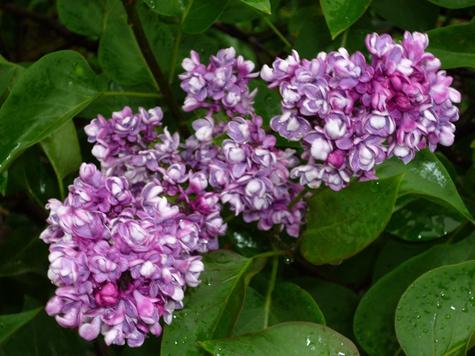 Сиреневый сад зацветет по-новому к юбилею селекционера