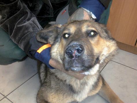 Прибегнуть к приемам пластической хирургии были вынуждены ветеринары одной из клиник столицы, оперировавшие щенка