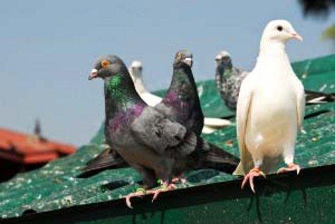 Птицы, считавшиеся символами любви и послушания в былые времена, попали под сканер:  они могут представлять угрозу для человеческой популяции