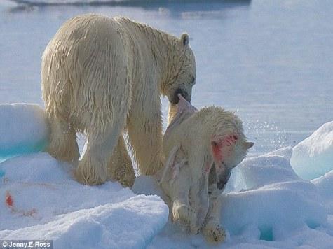 Фотожурналистка запечатлела сцену каннибализма среди белых медведей
