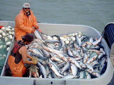 Дальневосточная лососёвая путина близится к завершению
