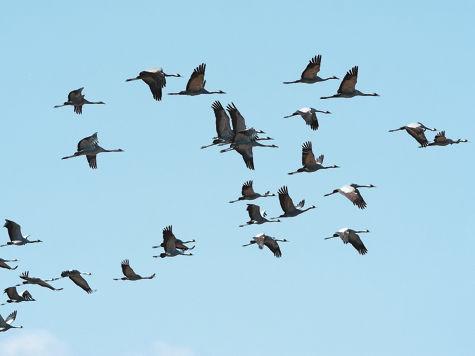 В деревне Дмитровка Талдомского района, как всегда, в сентябре проходит фестиваль журавля, или проводы птиц на юга
