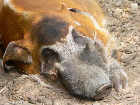 Свин Вася закрыл зоопарк