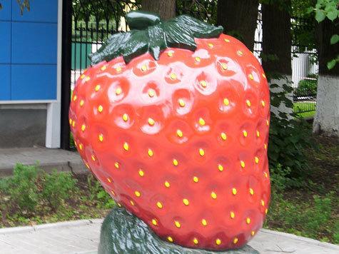 На совхозных полях  начали рвать красную ягоду