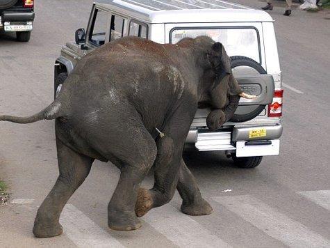 Погром произошел в городе Майсур: слон растоптал человека и убил корову