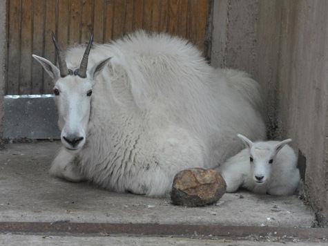 В Московском зоопарке у снежной козы родился детеныш