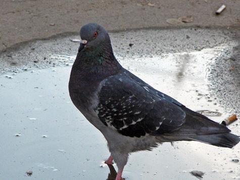 Массовая смерть голубей в Москве признана случайной