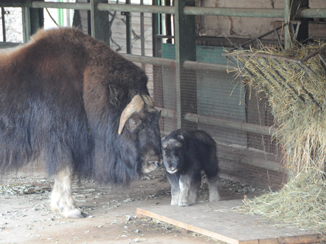 Неожиданный подарок преподнесла на днях сотрудникам зоопарка самка овцебыка