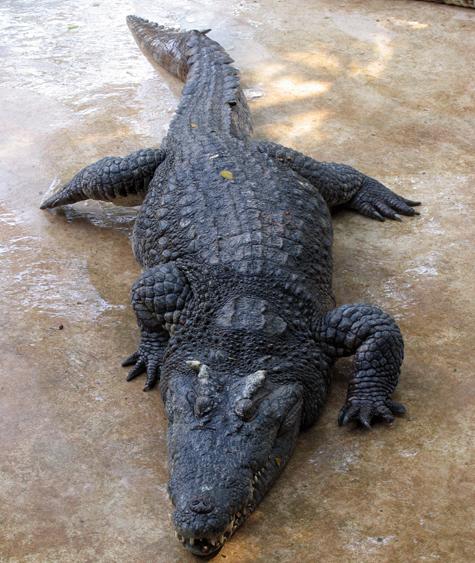 Крокодил Гоша не вынес холодной воды
