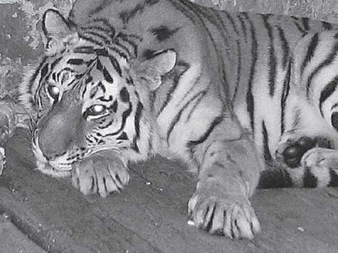 «Тигрица Путина» жива