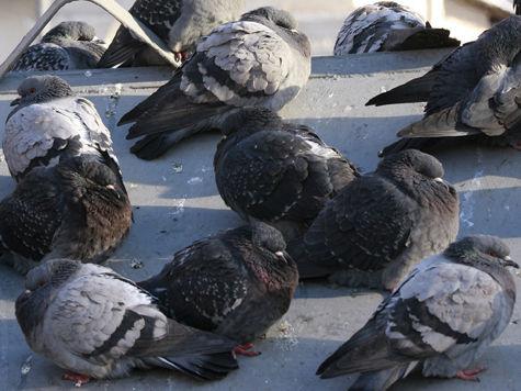 Московскими голубями займется прокуратура