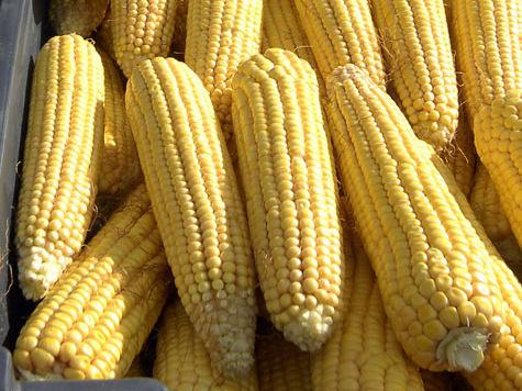 Россию накрыл невиданный урожай кукурузы