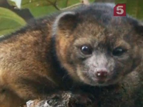 В лесах Эквадора найден новый вид хищника