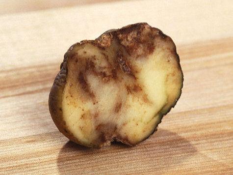 Избежит ли человечество нового картофельного голода