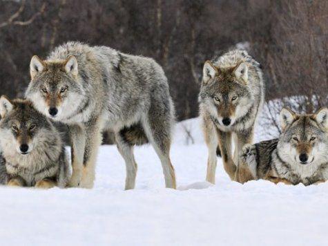 Волки наступают