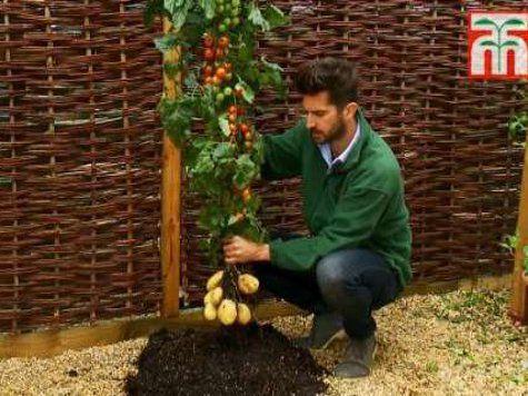 Британцы смогли вырастить помидоры и картофель на одном и том же дереве