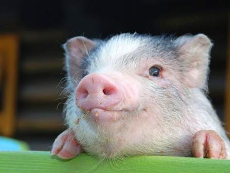 Вернуться в Москву свиньи смогут, когда ситуация по чуме в стране нормализуется