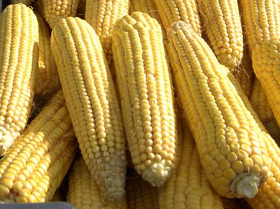 Американская гниль добралась до российской кукурузы