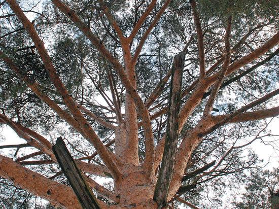 С наступлением предновогоднего периода ель — в центре внимания, и это уже многовековая традиция