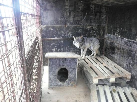 «МК» нашел дом для волчицы