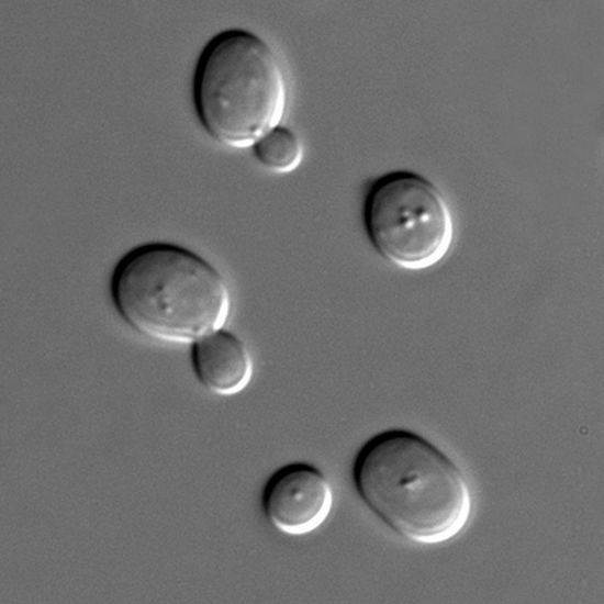 Эпохальное достижение: Ученые добились успеха в синтезе дрожжей