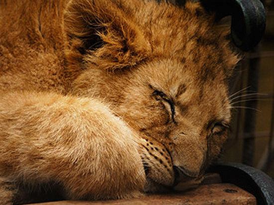 У семи нянек львенок без глаза
