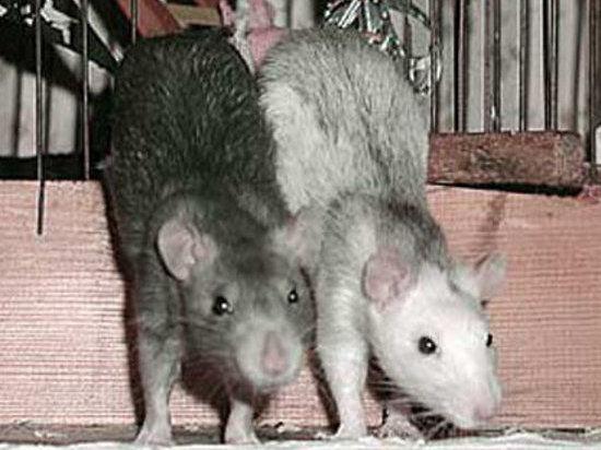В будущем Землю могут заполонить крысы размером с корову
