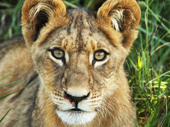 Зоозащитники отобрали львенка у владельцев ресторана в Ногинске