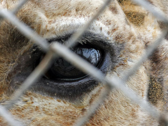 Сотрудникам Копенгагенского зоопарка объявили вендетту за убийство жирафа