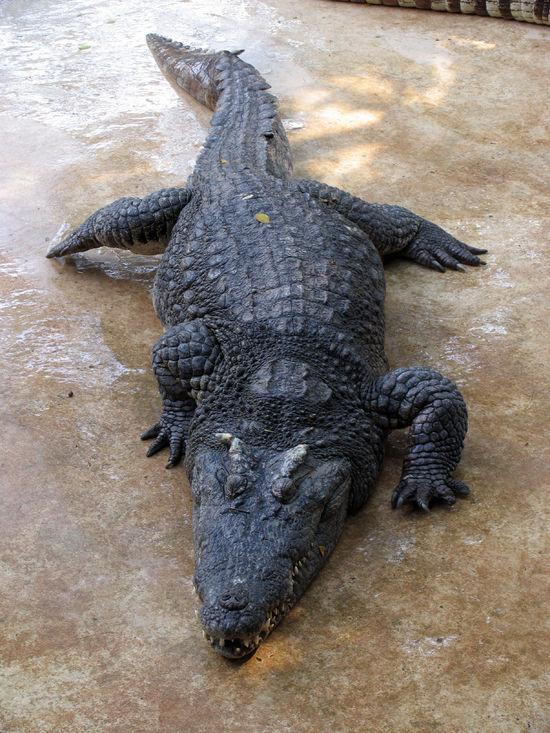 Крокодила Гену привезли в Питер яйцом
