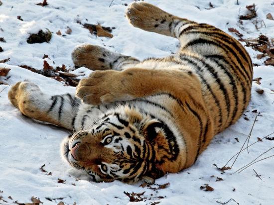 Осторожно: тигры!