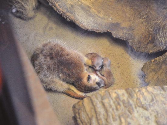 В Московском зоопарке родились сурикаты