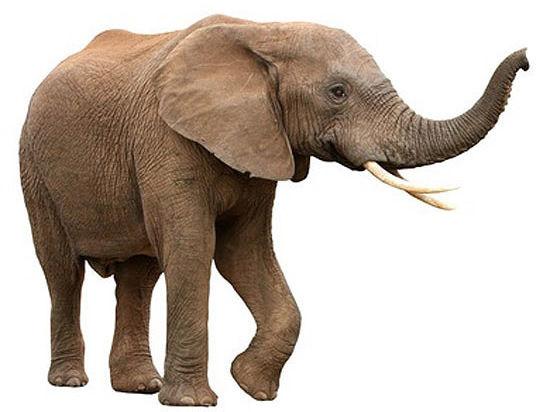 Медики рассказали, о чем предупреждает хвост слона