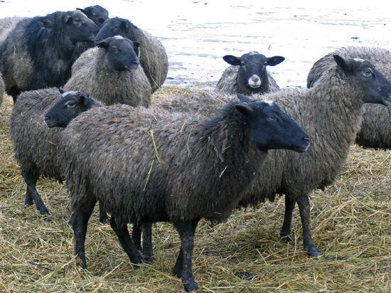 Луховицкая чупакабра постепенно приобретает черты собаки