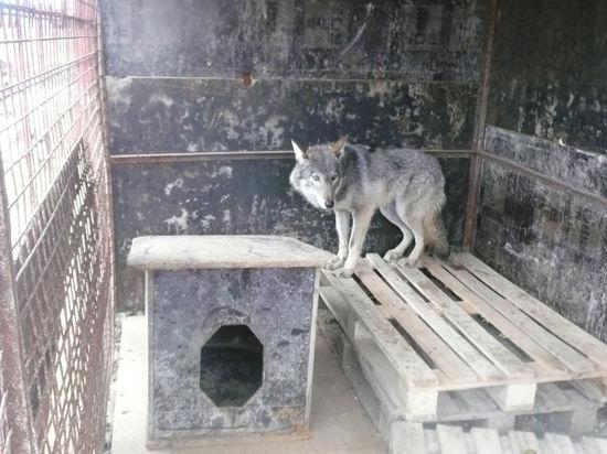 В подмосковном Красногорске строители приютили волчицу