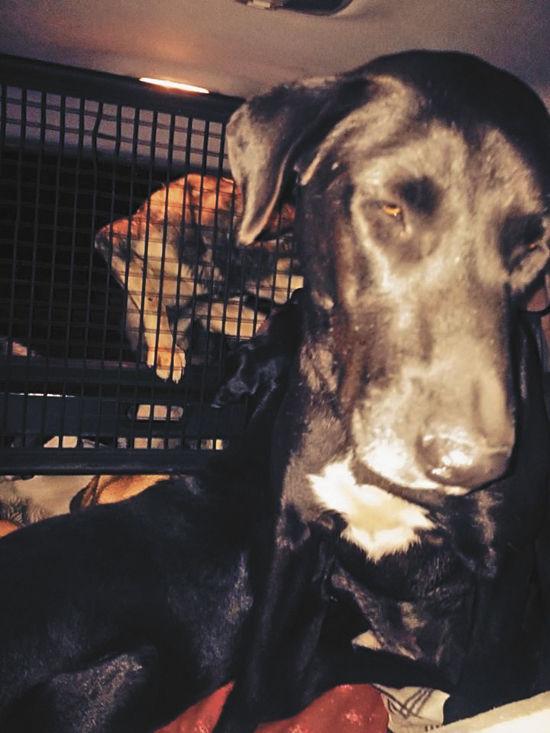 Собаки мигрируют вМоскву