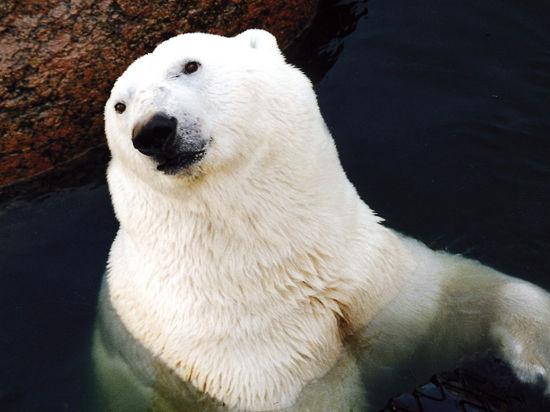 Белый медведь никогда не замерзнет именно потому что он белый