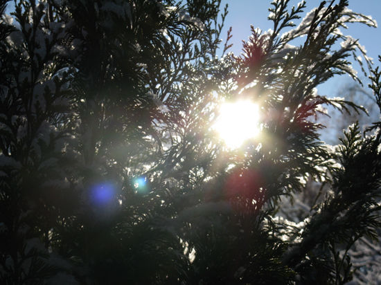 Как защитить хвойные растения от солнца