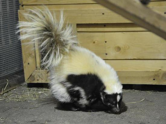 Скунсов обезвредили перед новосельем в зоопарке