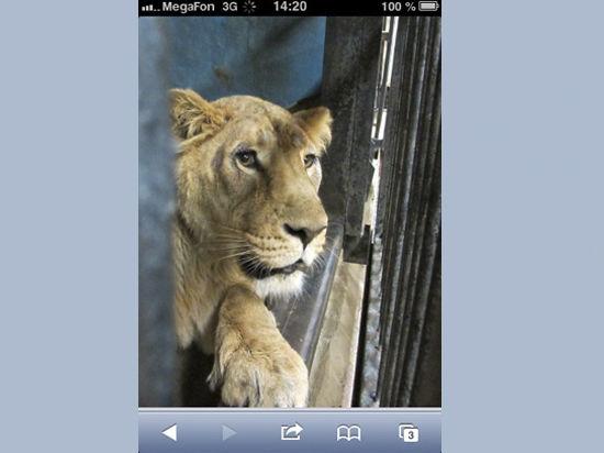 У льва из Московского зоопарка появилась невеста