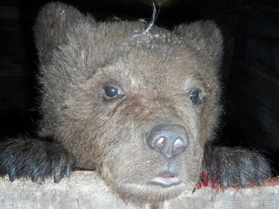 Медвежонка Сеню выкупили за 50 тысяч рублей
