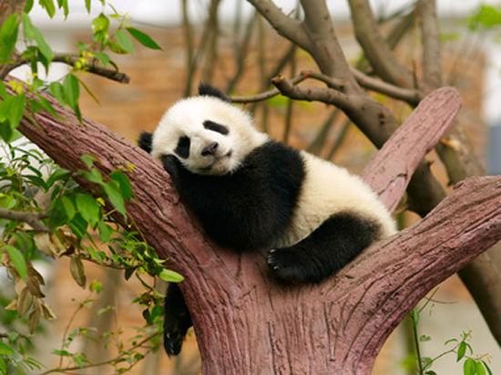 О том как панды сближают людей и страны