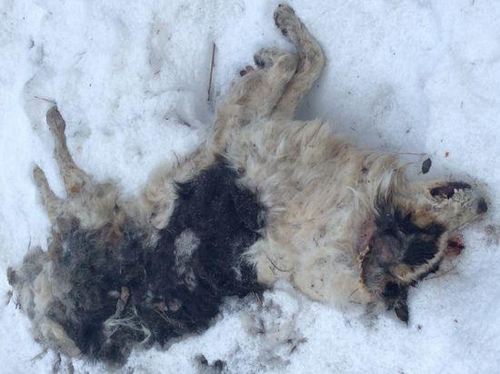 В Ногинском районе Подмосковья обнаружен могильник бродячих собак